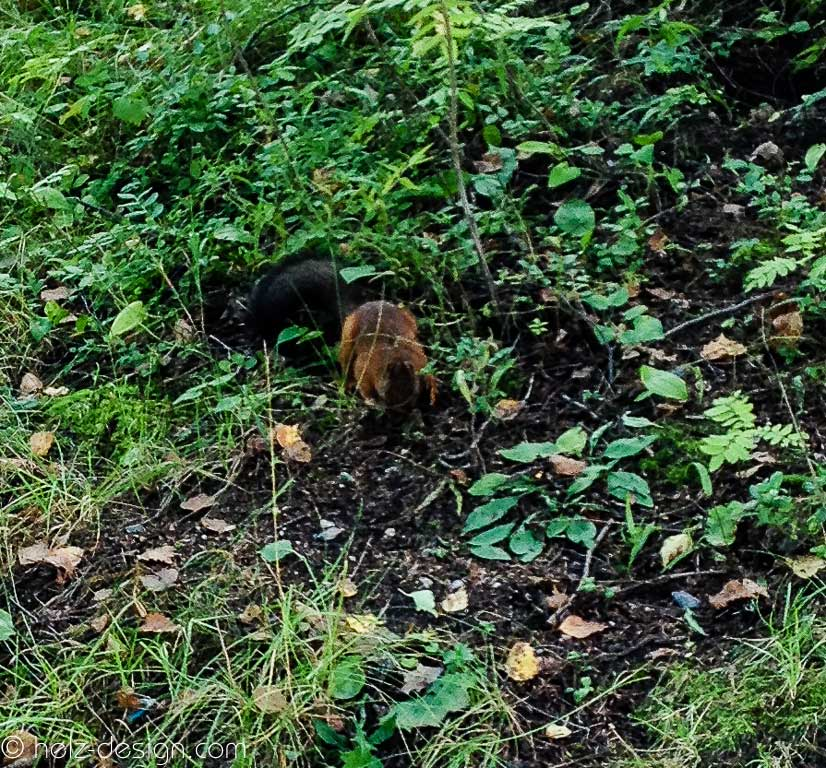 Eichhörnchen – Orava