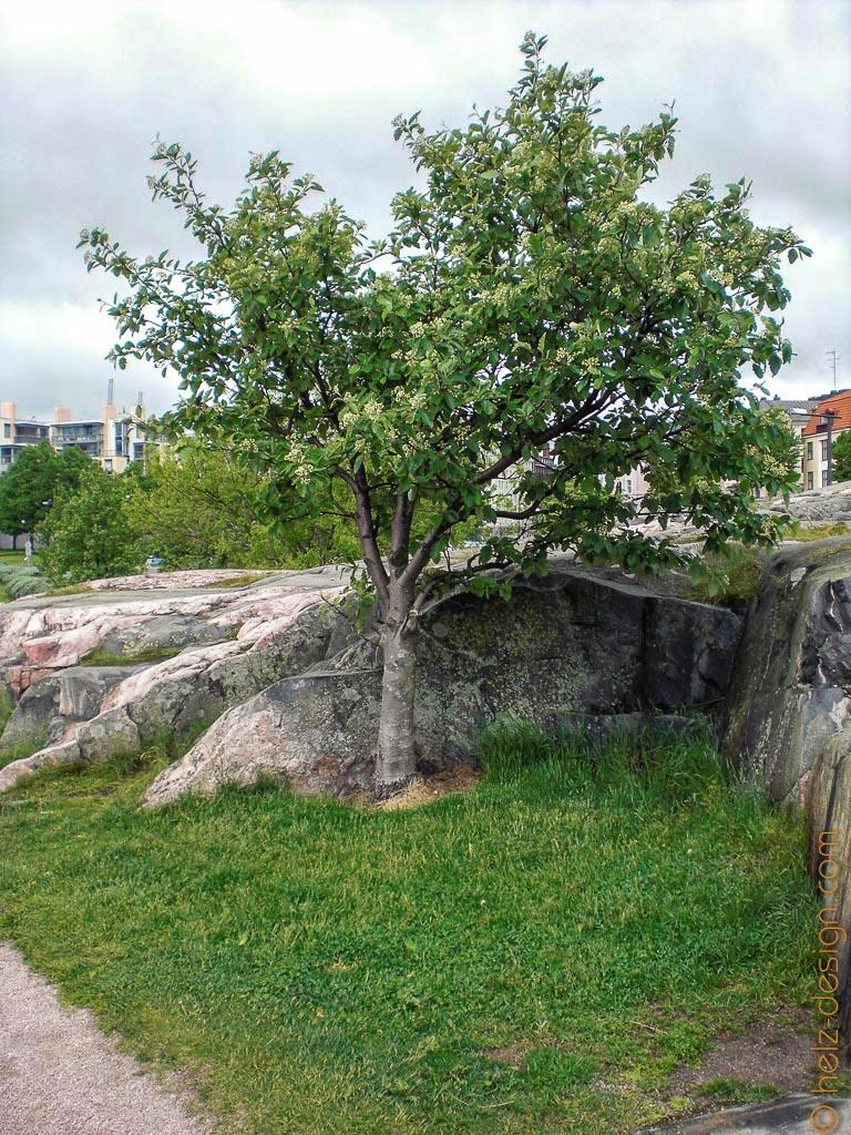 EInsamer Baum an Eiranranta