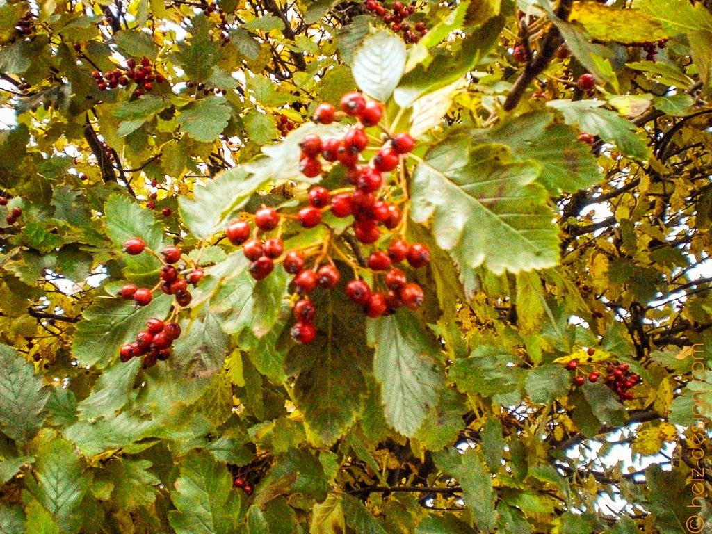 Beerenbäume