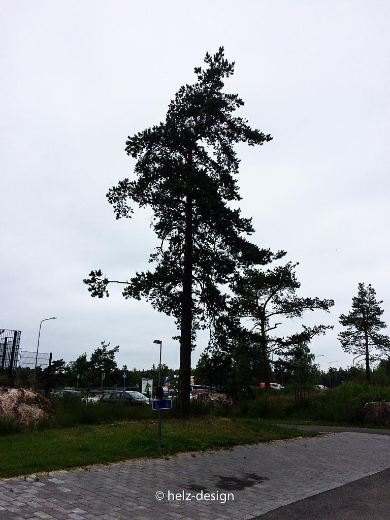 Nadelbaum in Jakomäki