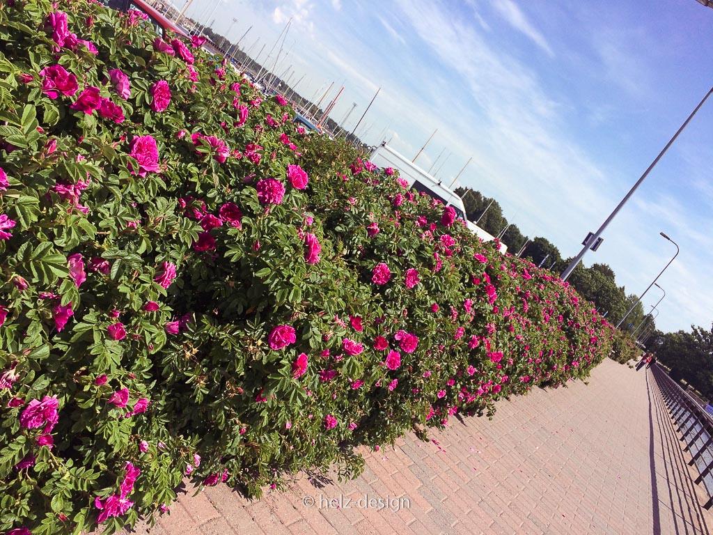 Rosenbewucherter Zugangsweg nach Tervasaari