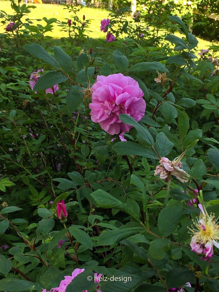 Die Rose von Jakomäki