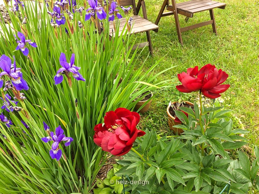 Iris und Pfingstrose