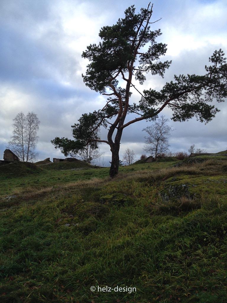 interessante Bäume am Taivaskallio